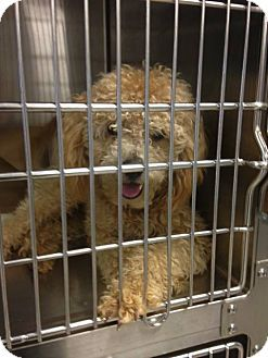 New Jersey Nj Poodle Miniature Goldendoodle Mix Mango A Dog For Adoption Http Www Adoptapet Miniature Poodle Labradoodle Goldendoodle Dog Adoption