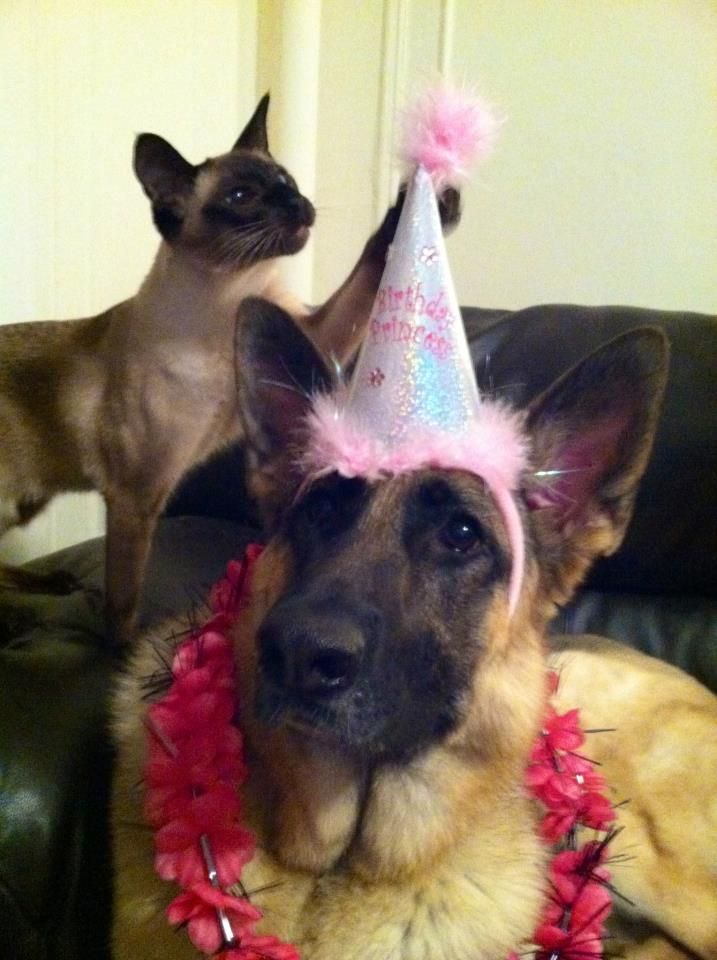 A Siamese And German Shepherd The Ultimate Cat Dog Combo
