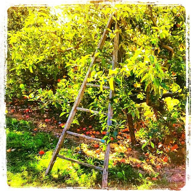 I love apple ladders! and I love apple season!  applesauce, apple pie, apple crisp - you get the idea!  Photo courtesy of countytshirts.com