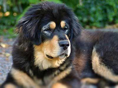 Tibetan Mastiff Price, Temperament, Life span Tibetan