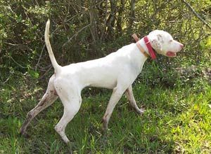 White Pointer Dog The Pecan Tree Kennel With Images Pointer