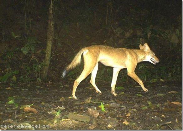 La silenciosa proliferación de coyotes en Panamá - http://panamadeverdad.com/2014/09/16/la-silenciosa-proliferacion-de-coyotes-en-panama/