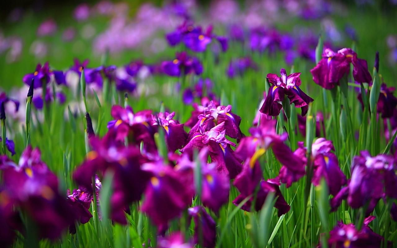Iris Flower Irises Pinterest Iris Garden Grass And Flowering
