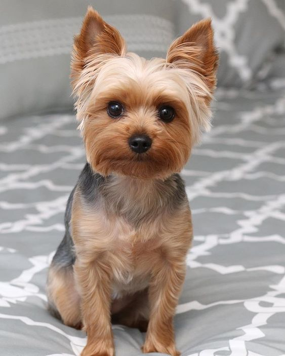 14 Haircut Decisions For Your Yorkshire Terrier | PetPress