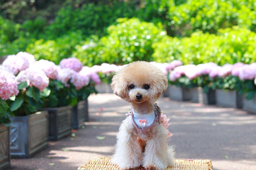 おはようございます 伊豆旅行のpic 紫陽花とルナちゃん ルナちゃんのお顔より大きな紫陽花もあったよ 今日もお留守番よろしくね プードル トイプードル ティーカッププードル 貴婦狗 푸들 토이푸들 ふわもこ部 ペットモデル サンデ I Love Dogs