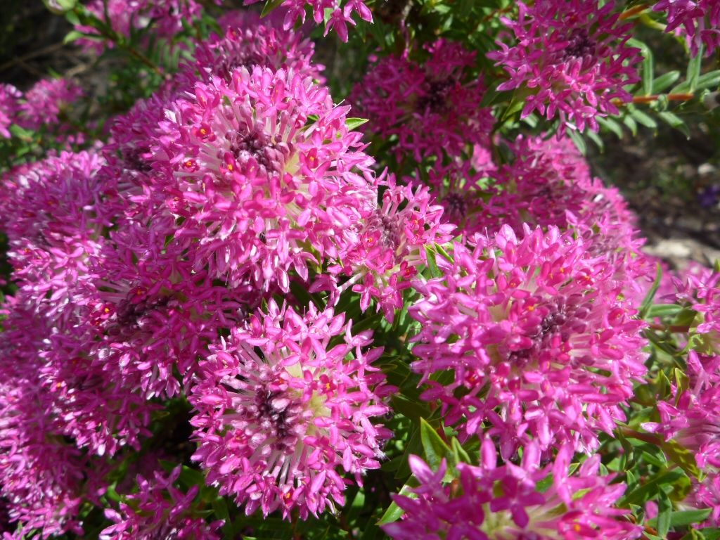 Purple leaf shrub with pink flowers - Pimelea Rosea Rice Flower Deep Dream A Beautiful Small Shrub With Small Light Green Leaves And Masses Of Purple Pink Tubular Flowers In Spring