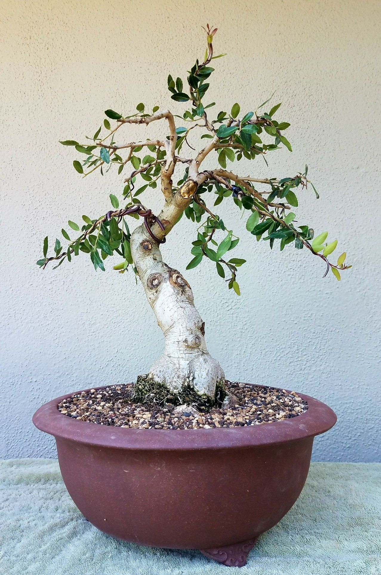 Picture 4 - I did some hard pruning and wiring on my Yaupon Holly pre-