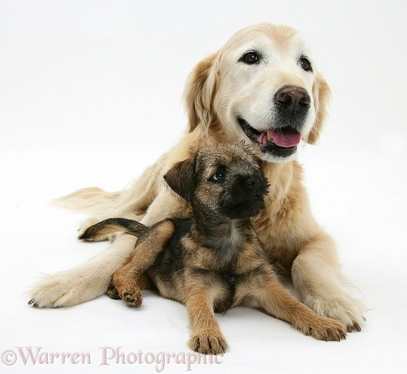 Dogs Border Terrier Pup Elderly Golden Retriever Photo Border Terrier Golden Retriever Terrier