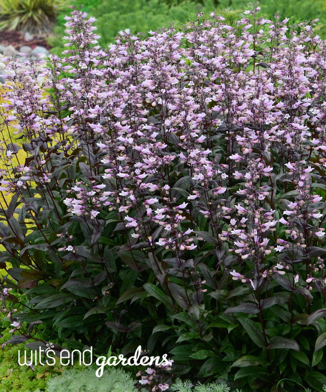 Tower Perennial Gardens: Penstemon 'Dark Towers': Tremendous Flower Power Over Deep