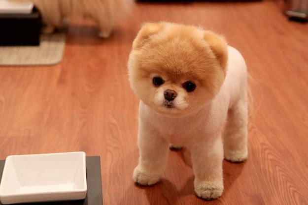25 Adorably Tragic Half Shaved Animals Cute Pomeranian Boo The Cutest Dog Boo The Dog