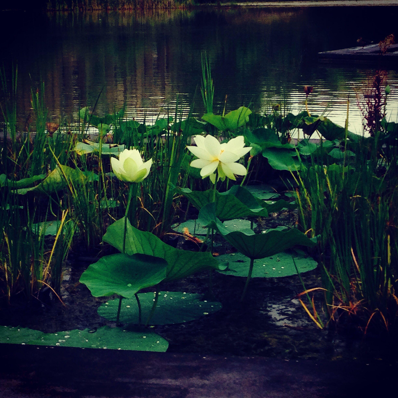 #lotus#
