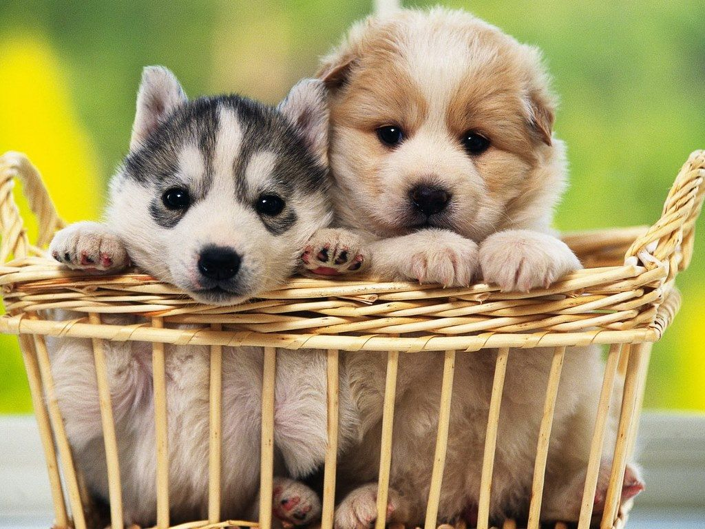 puppies Cute Puppies & Wallpaper of Dog Breeds