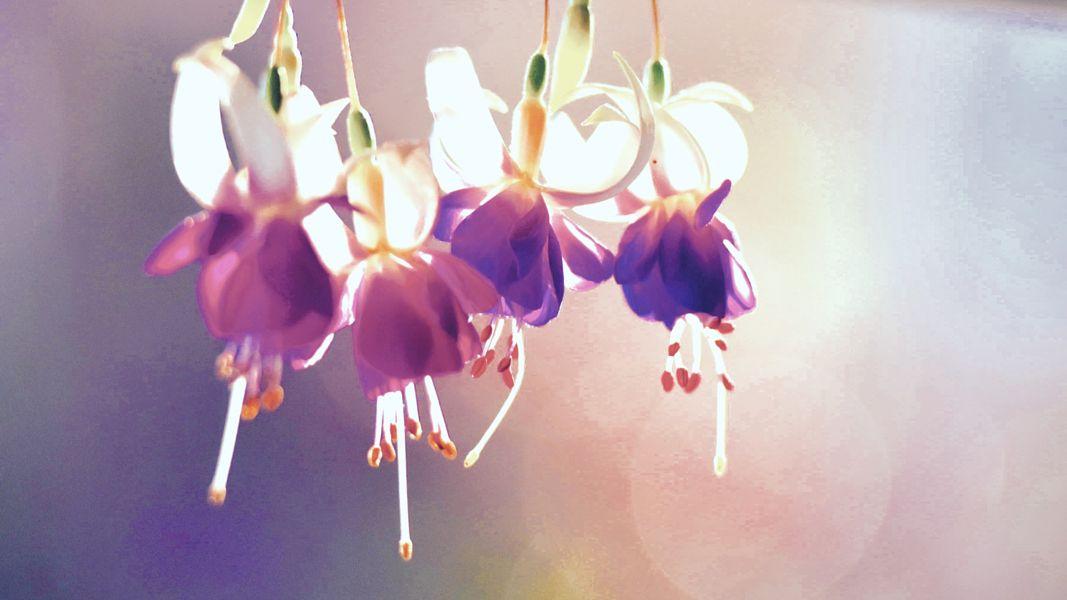 Fuchsia by Harender Saroha