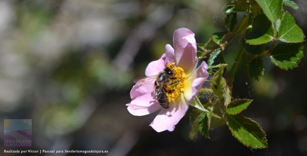 Fotografía realizada por Víctor J Pascual para Senderismoguadalajara.es #primavera #abeja #flores #guadalajara #zaragoza