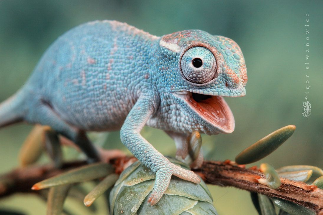 fe0b3eeb2818105edbfee8448554dc2e - How To Get A Chameleon To Open Its Mouth