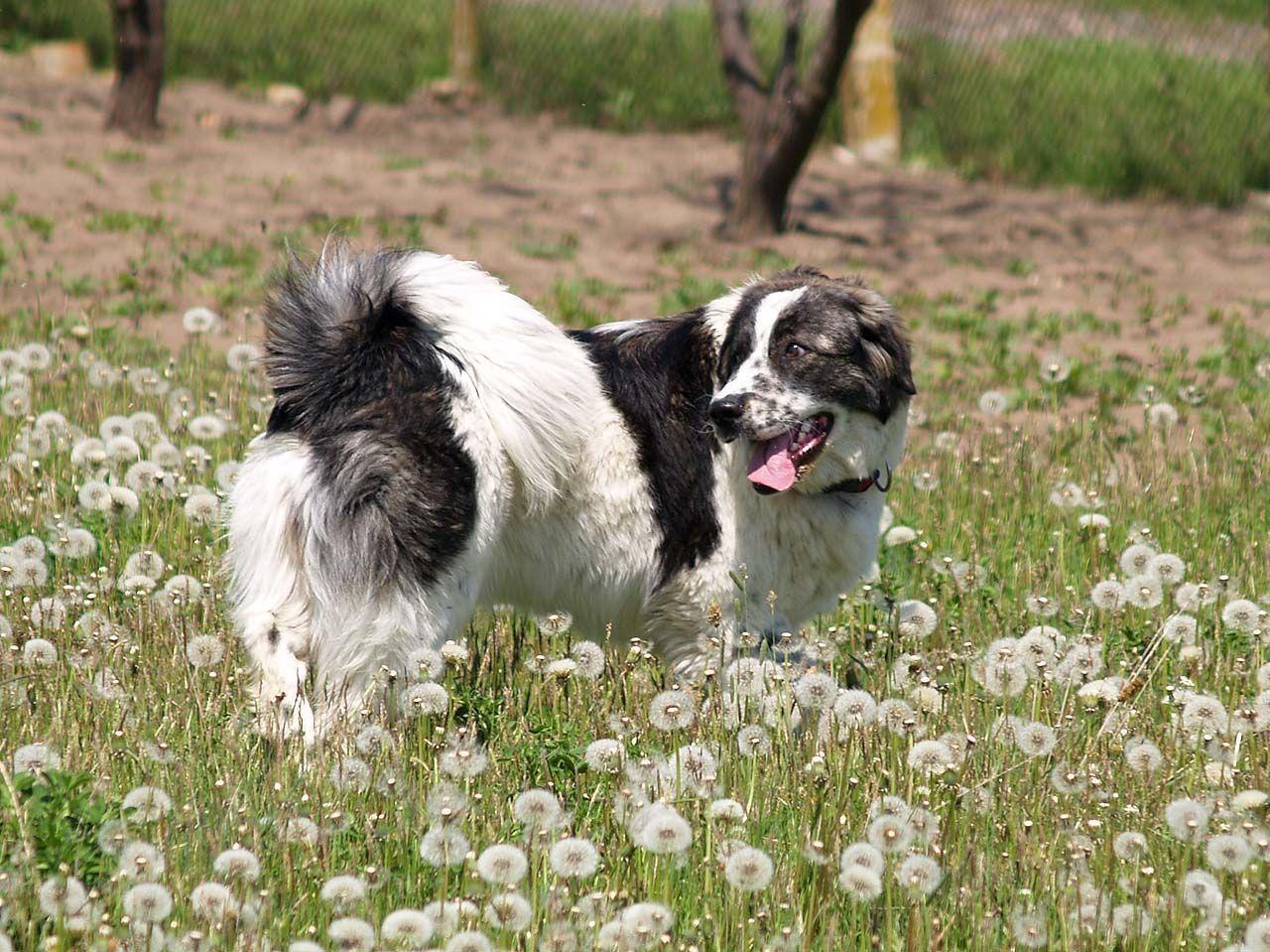 Karakachan Dog / Bulgarian Shepherd Dog / Thracian Mollos ...