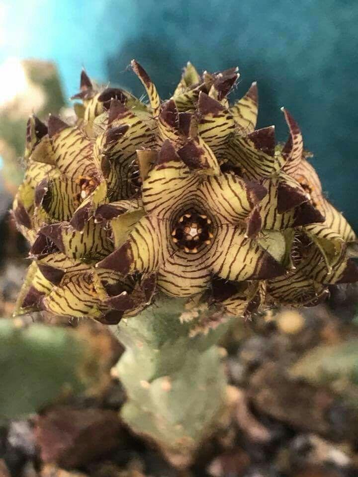 Caralluma europea var judaica in full bloom
