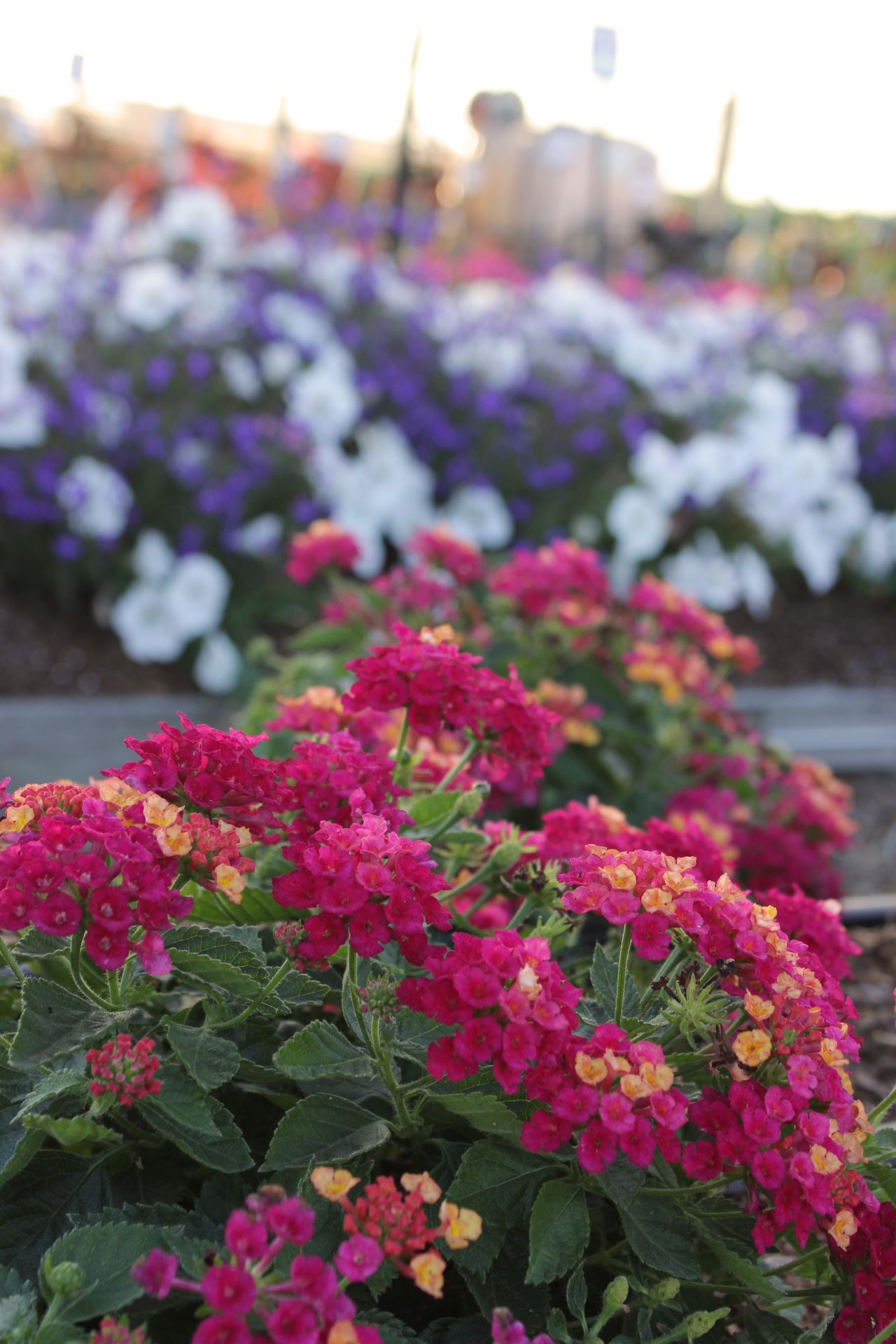 Lantana Hanging Basket Interesting Lantana Is An Unstoppable Annual For Container Gardens Landscapes 2018