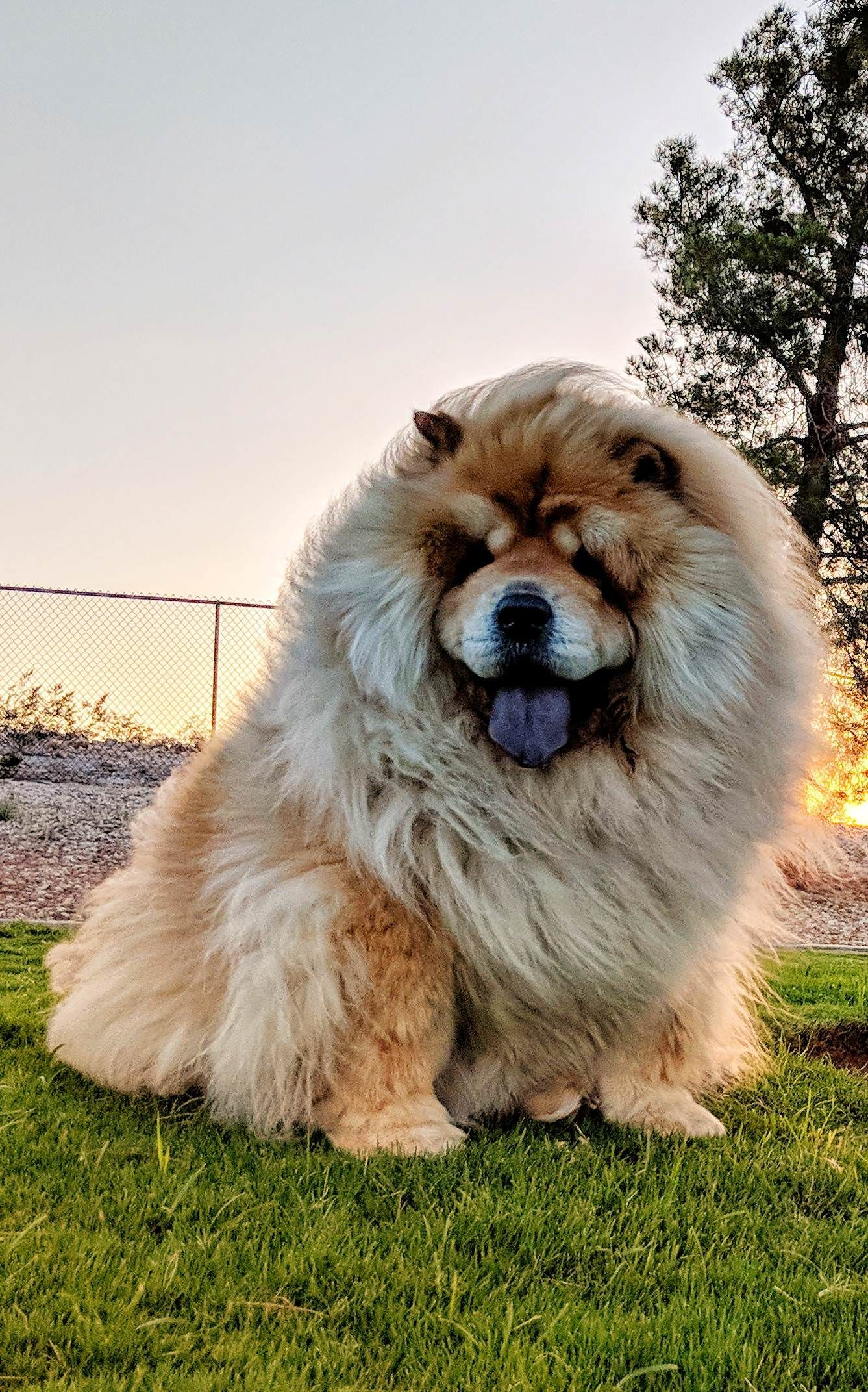 Chow Chow Https Ift Tt 2ymaia1 Cute Puppies Cats Animals