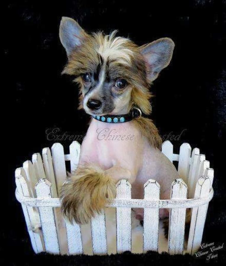 Chinese Crested in Hoobly Classifieds Chinese crested