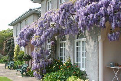The Isle Of Jersey Bulb Hunter Blog Wisteria My Secret Garden Love Garden