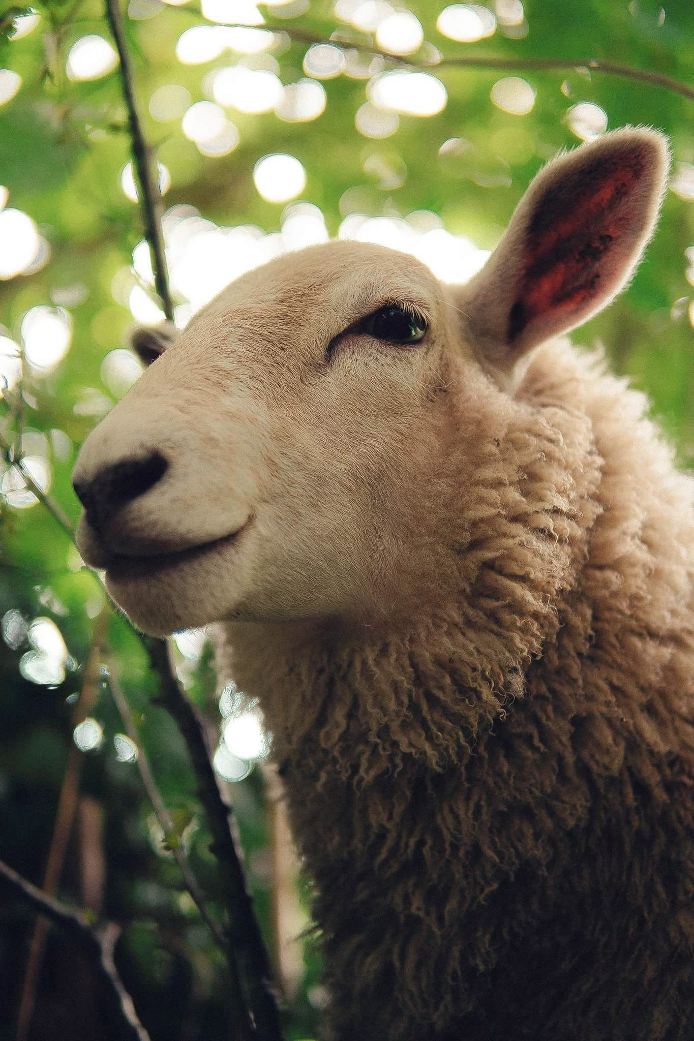 This Handsome Sheep Animals Images Sheep Animals