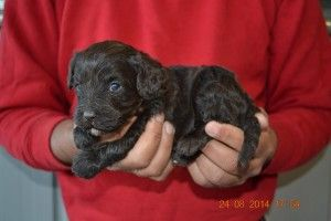 Isn T He Cute Love This Labradoodle Puppy Labradoodle Labradoodle Puppy Puppies