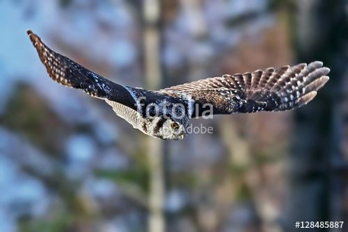 This image was sold today @ fotolia by Adobe: Northern hawk-owl (Surnia ulula) https://eu.fotolia.com/id/128485887