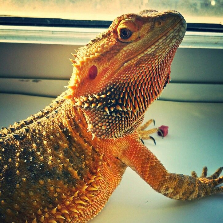 Cinderella the Bearded Dragon | Cute Creatures | Pinterest