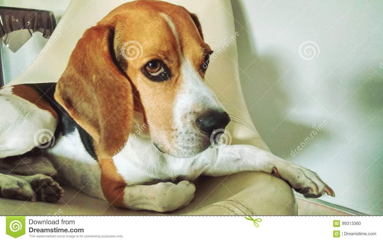 Beagle Relaxing In Chair Download From Over 64 Million High