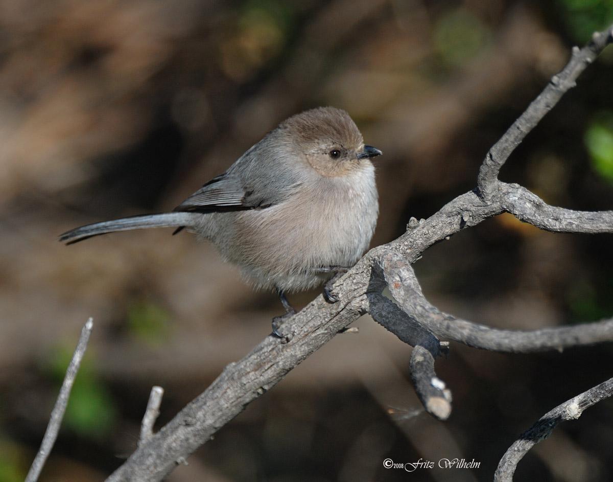 bushtit.jpg (1200×943) | Birds, Cute birds, Backyard birds