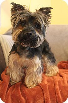 Yorkie Yorkshire Terrier Dog For Adoption In Bedminster New Jersey Yspi Dog Adoption Yorkshire Terrier Yorkie
