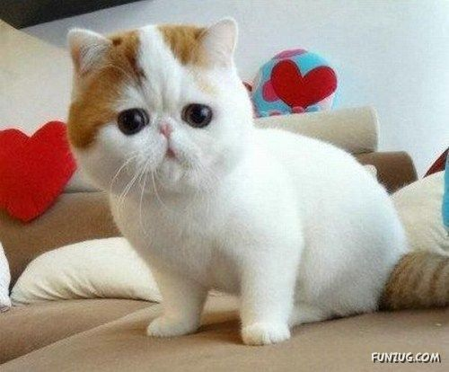Cute exotic shorthair cat i love this one click to see more like cute exotic shorthair cat i love this one click to see more like this voltagebd Gallery