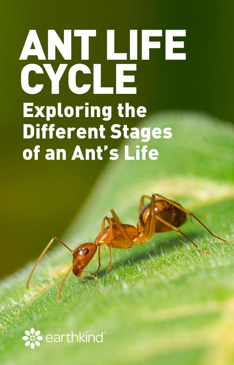 Ant Life Cycle Exploring the Different Stages of an Ant