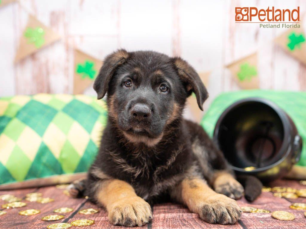 Puppies For Sale Puppies Shepherd Puppies German Shepherd Puppies