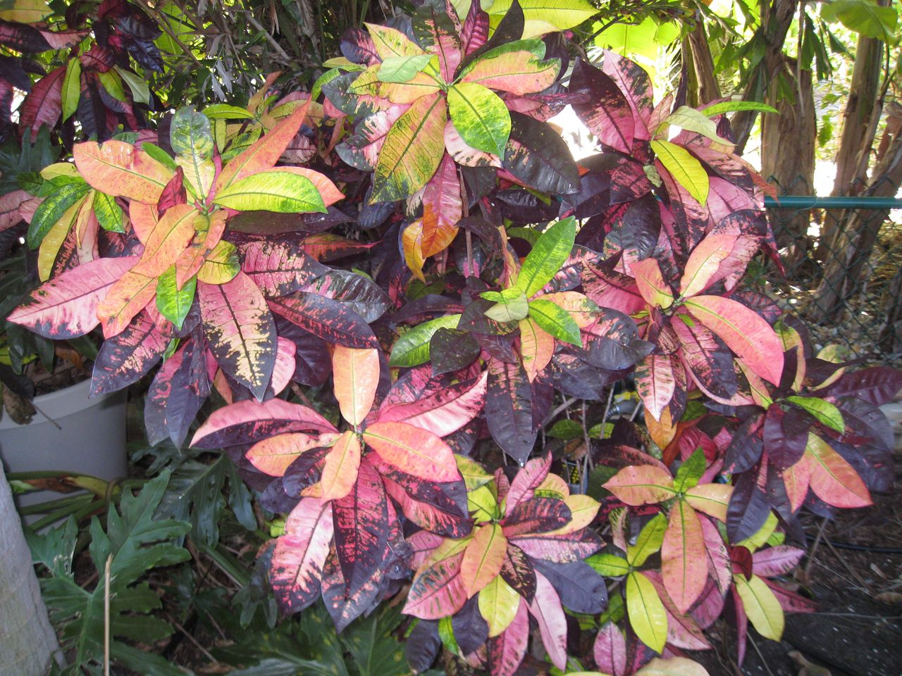 appleleaf the synonyms of this croton are the much more used mrs