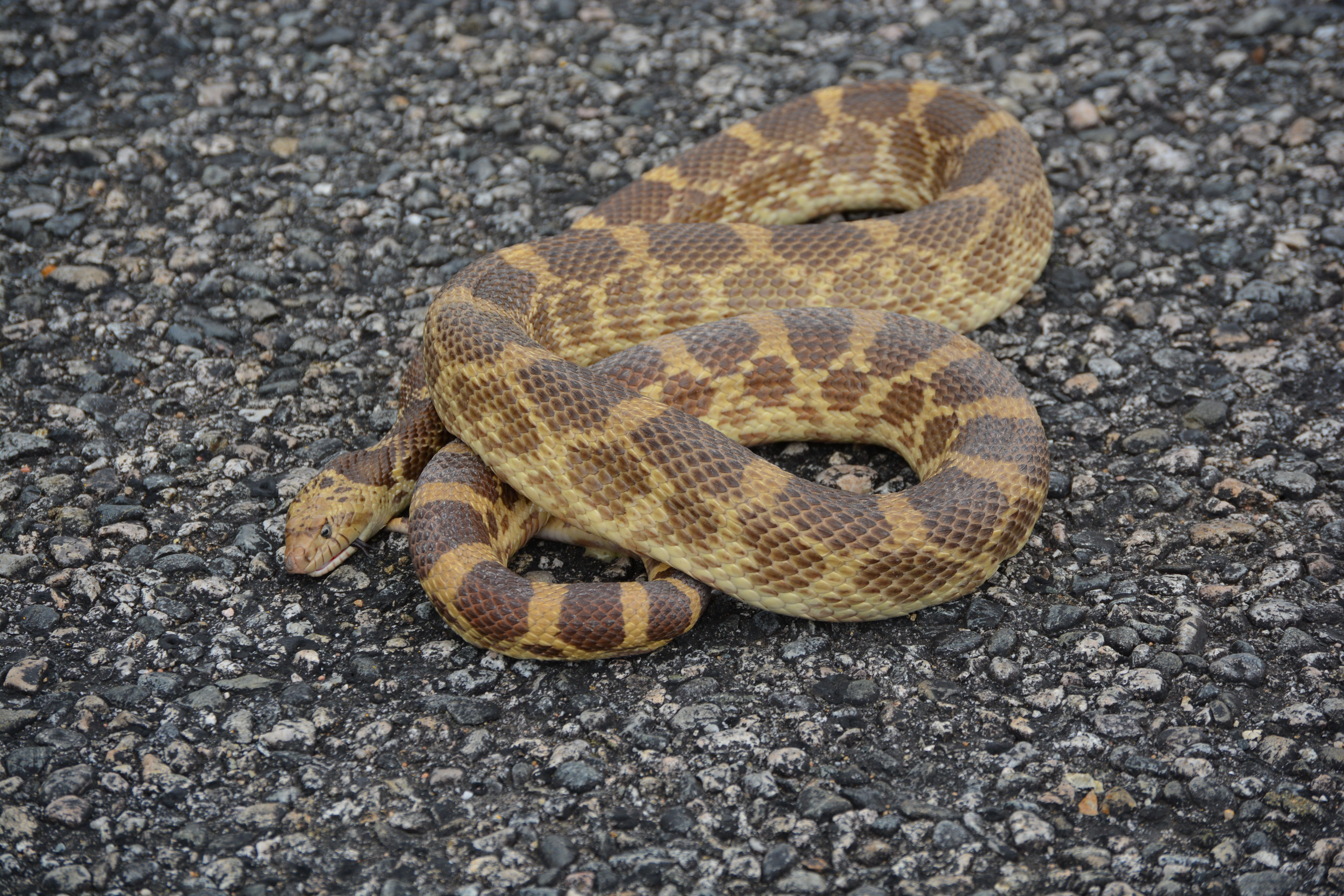 Pictures Of Bull Snakes In Colorado