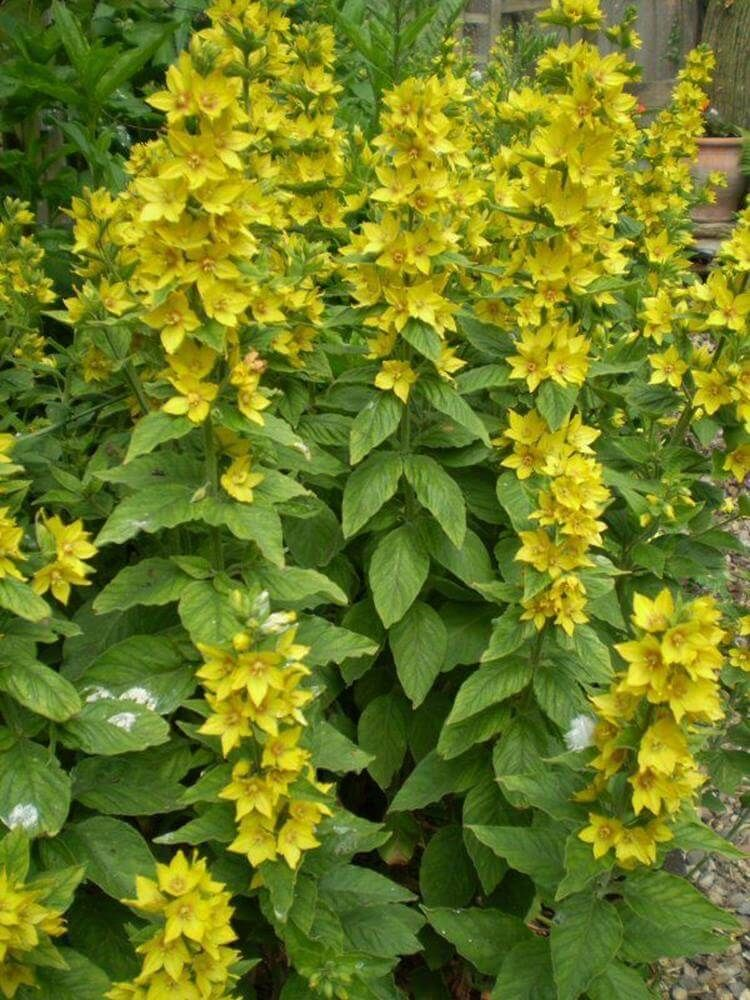 Tall Cottage Garden Flowers 16 Cottage Garden Plants Cottage Garden English Cottage Garden