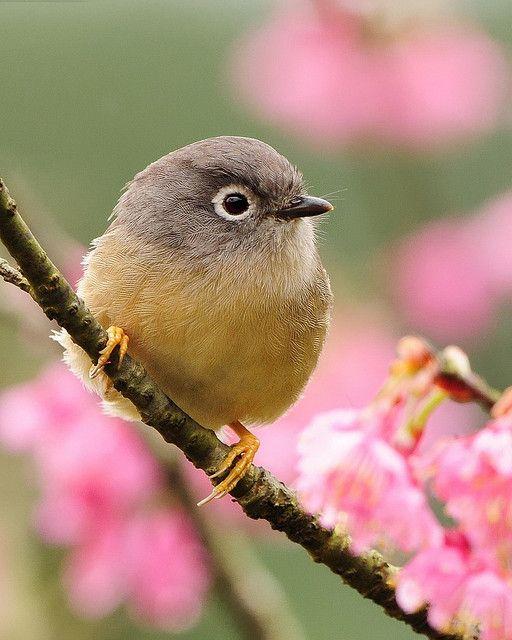 Gray Cheeked Fulvetta Among The Pink Cherry Blossoms Bird Animal Bird Photography Pet Birds Bird