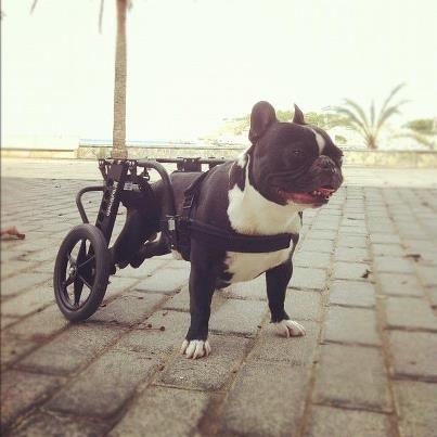 Elmo French Bulldog Dog Wheels For Back Legs Dog Wheelchair