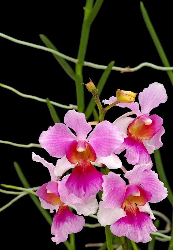 Vanda Miss Joaquim Is The National Flower Of Singapore Orchid Flower Vanda Orchids Flowers