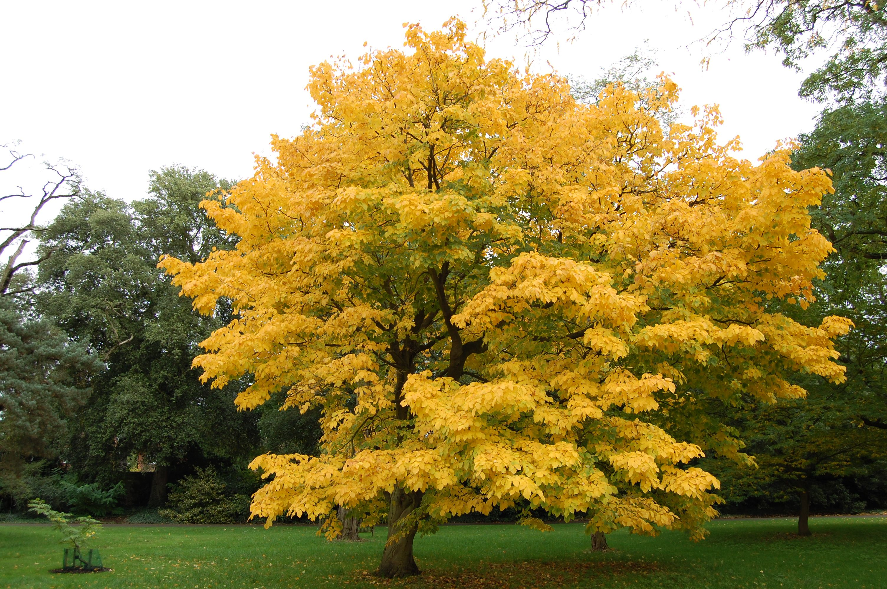Cladrastis kentukea kew gardens gardens and deciduous trees for Garden deciduous trees