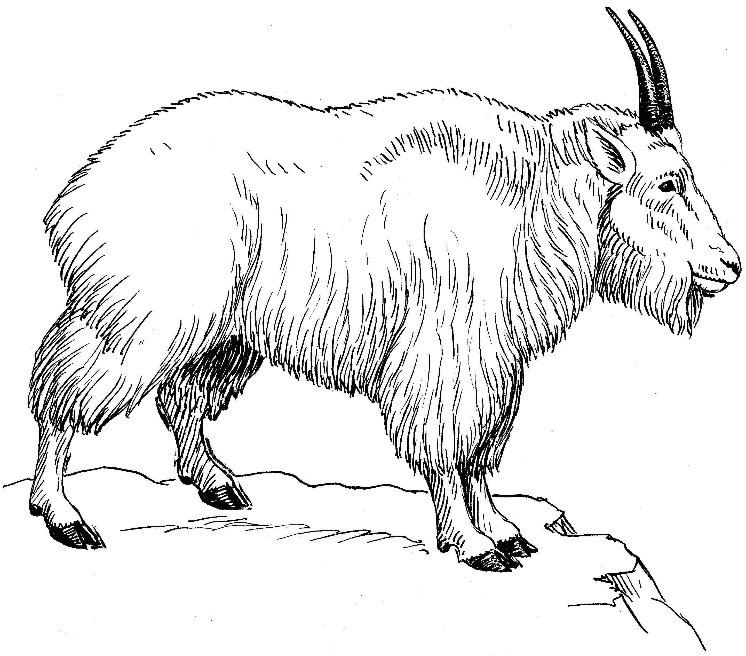 Images For How To Draw A Mountain Goat