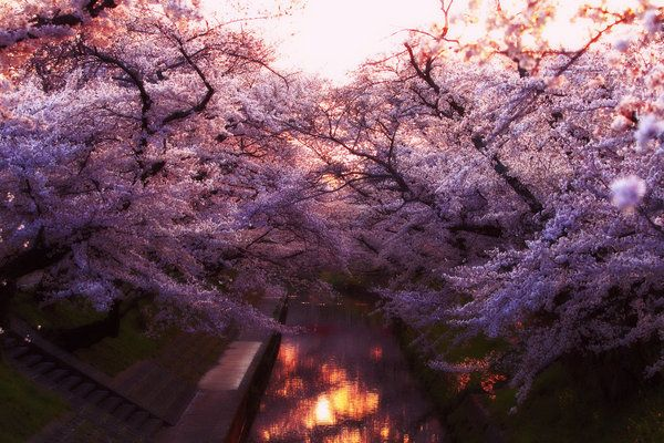 Sakuras Afterglow By Jyoujo Deviantart Com On Deviantart Purple Rain Beautiful Nature Nature Photography