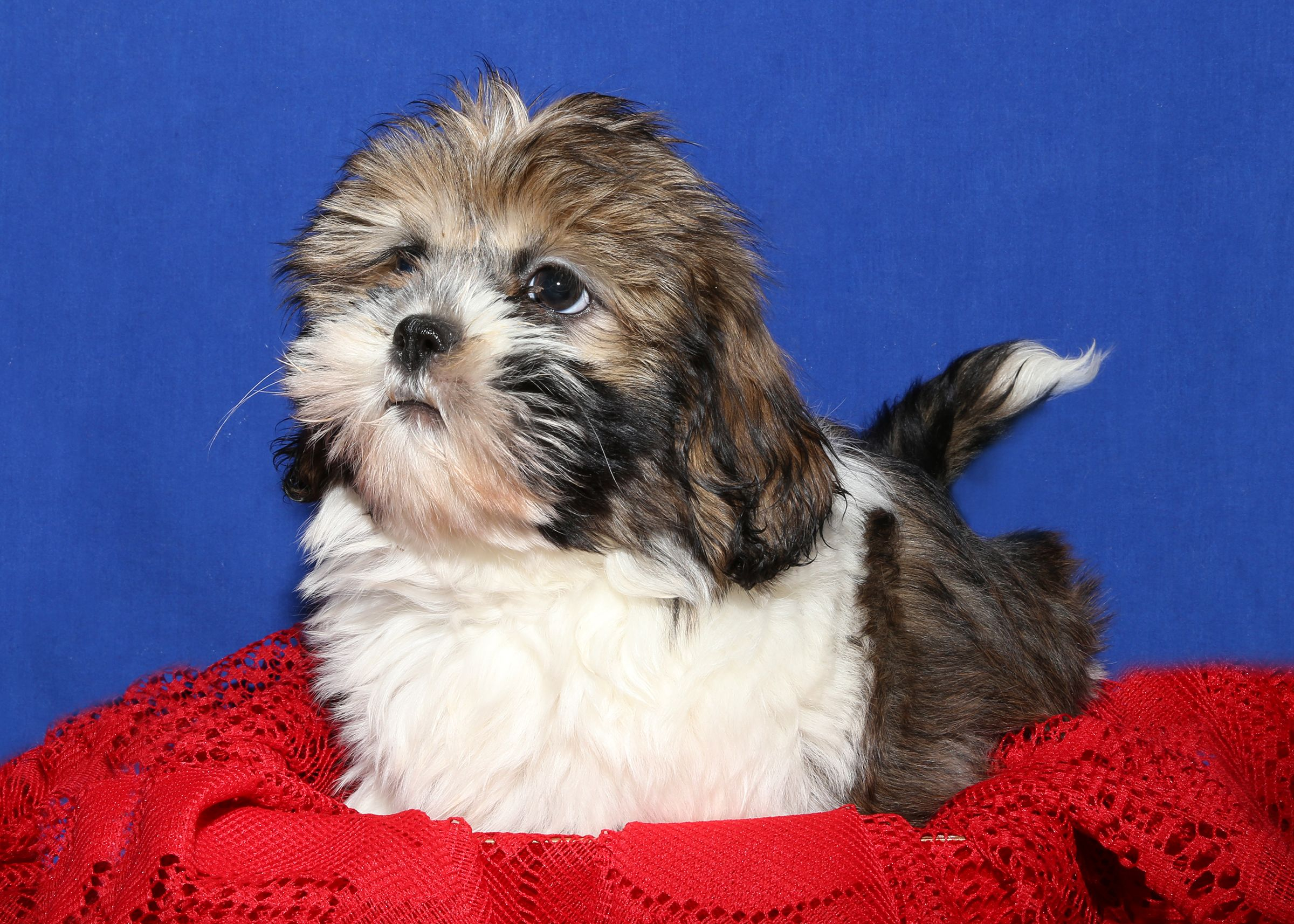 Beautiful And Sweet Little Lasa Apsa Female Puppy For Sale On Long