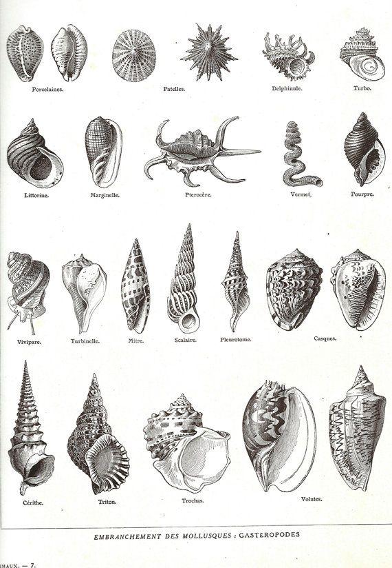 1923 Shells, Vintage French Encyclopedia, Larousse