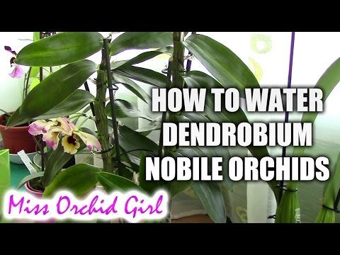How To Water Dendrobium Nobile Orchids Tips For Healthy Orchids Dendrobium Nobile Dendrobium Orchids Care Orchids