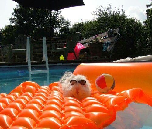 Guinea pig on a pool raft!