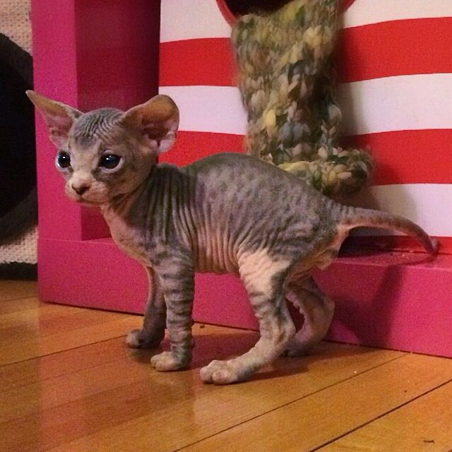 Spotted gray and pink Sphynx kitten  I will own a sphinx one