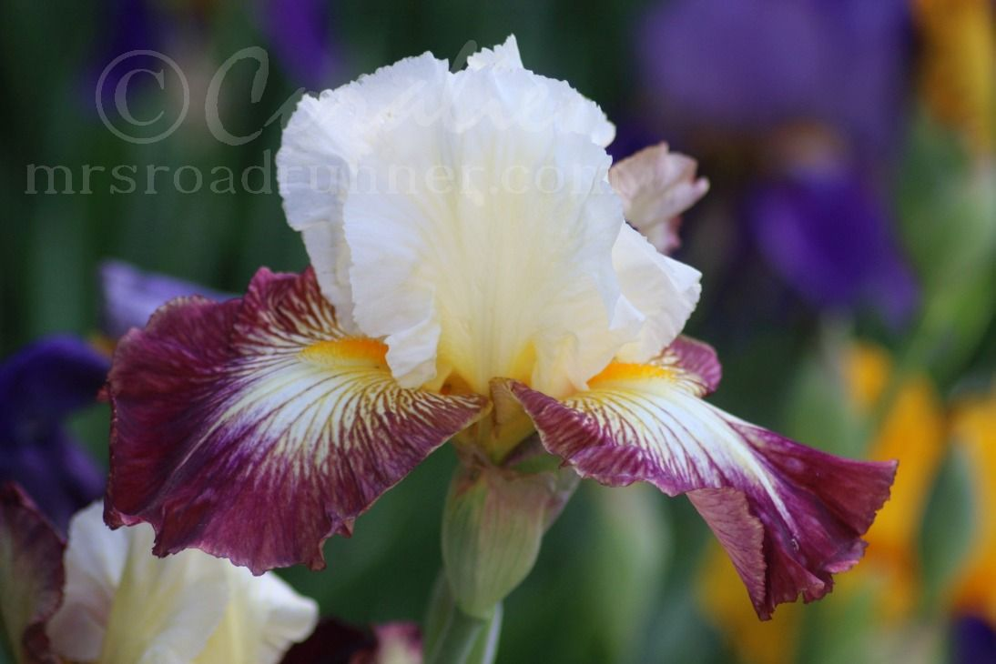 1 iris flower blooming flowers pinterest iris flowers iris the iris patch has started blooming this iris had bloomed before however the iris bloom below is a new bloomer izmirmasajfo Choice Image